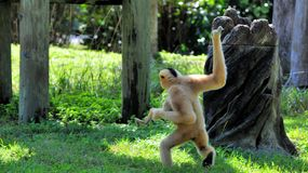 Moeder Gibbon die met baby lopen Royalty-vrije Stock Foto's