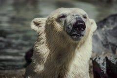 Moeder Ijsbeer stock foto