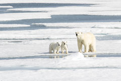 Moeder Ijsbeer en Twee welpen op Overzees Ijs royalty-vrije stock foto