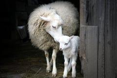 Moeder instinct. Schapen en lam. Stock Foto