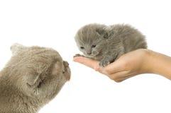 Moeder-kat en klein katje Stock Afbeelding