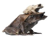 Moeder lang-Besnuffelde Gehoornde Kikker en haar jongelui stock afbeeldingen
