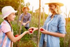 Moeder met dochter die vers het plukken tomaten verzamelen royalty-vrije stock afbeelding