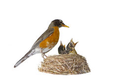 Moeder Robin Feeding Stock Afbeelding