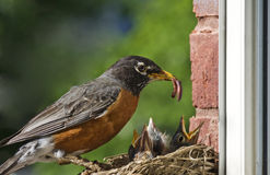 Moeder Robin Feeding Babies stock foto's