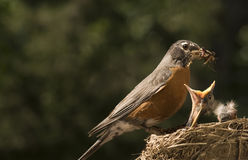 Moeder Robin Feeding Baby Royalty-vrije Stock Afbeelding