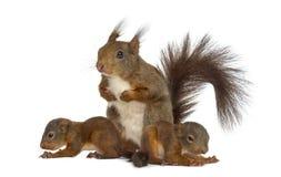 Moeder Rode eekhoorn en babys Stock Afbeelding