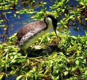 Moeder Westelijke Fuut op een Nest van Eieren Royalty-vrije Stock Foto