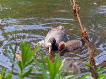 Moeder Zwarte Koet met kuiken die in de vijver tijdens de Lentetijd zwemmen stock fotografie