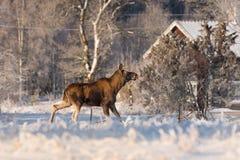 Moederamerikaanse elanden in de binnenplaats royalty-vrije stock foto