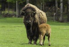 Moederbuffels en babykalf Royalty-vrije Stock Afbeelding