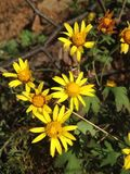 Moederchrysant Royalty-vrije Stock Foto's