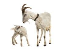 Moedergeit en haar jong geitje (8 weken oud) Stock Afbeeldingen