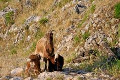 Moedergeit met jonge geitjes Stock Foto's