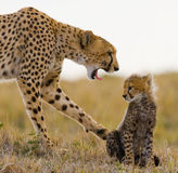 Moederjachtluipaard en haar welp in de savanne kenia tanzania afrika Nationaal Park serengeti Maasai Mara stock foto