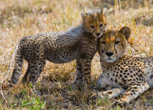 Moederjachtluipaard en haar welp in de savanne kenia tanzania afrika Nationaal Park serengeti Maasai Mara royalty-vrije stock foto
