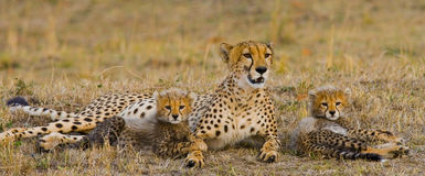 Moederjachtluipaard en haar welpen in de savanne kenia tanzania afrika Nationaal Park serengeti Maasai Mara Stock Foto