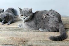 Moederkat die haar katjes behandelen Royalty-vrije Stock Afbeeldingen