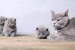 Moederkat die haar katjes behandelen Royalty-vrije Stock Foto's