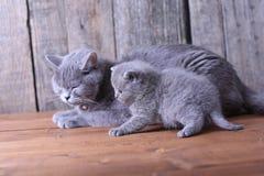 Moederkat die haar katjes behandelen Stock Foto's