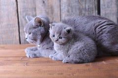 Moederkat die haar katjes behandelen Stock Afbeelding