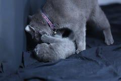 Moederkat het spelen met katje op een blauwe achtergrond Royalty-vrije Stock Afbeelding