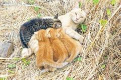 Moederkat met jonge katjes Stock Afbeeldingen