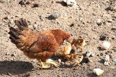 Moederkip en chickhens het voeden stock afbeeldingen