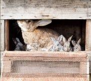 Moederkonijn met pasgeboren konijntjes Royalty-vrije Stock Foto