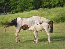 Moederpaard die haar Veulen, Baby in Platteland, de Landbouw voeden royalty-vrije stock foto