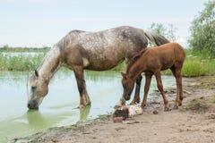 Moederpaard en jong veulen bij meerbar Royalty-vrije Stock Afbeelding