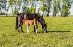 Moederpaard en veulen in een gebiedswelp royalty-vrije stock afbeelding
