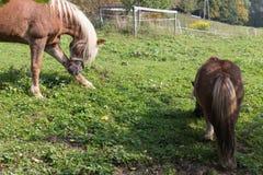 moederpaard met zijn veulen op een de herfstdag in september dichtbij stu royalty-vrije stock foto