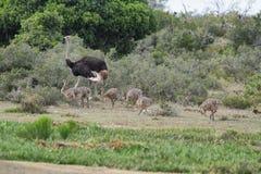 Moederstruisvogel met haar babys royalty-vrije stock foto's