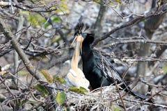 Moedervogel die haar jongelui voeden Stock Afbeeldingen