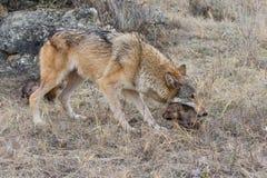 Moederwolf die haar jongelui vervoeren royalty-vrije stock afbeeldingen