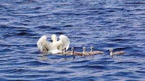 Moederzwaan met haar het jonge degenen zwemmen Stock Afbeeldingen