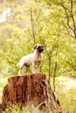 Moedig pug puppy stock afbeelding