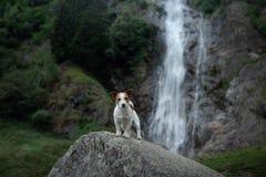 Moedige Jack Russell-terri?r die zich op een steen bij de waterval bevinden Weinig hond dichtbij het water in aard stock afbeeldingen