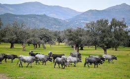 Moedige stier op het gebied met grote hoornen stock foto
