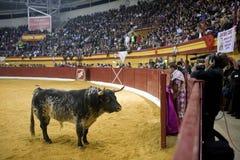 Moedige stier tegengesteld aan het toevluchtsoord in een levend op de televisie uitgezonden stieregevecht royalty-vrije stock foto's