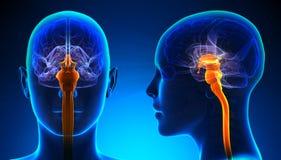 Moelle épinière femelle Brain Anatomy - concept bleu Image stock