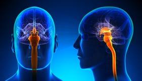 Moelle épinière masculine Brain Anatomy - concept bleu Photos libres de droits