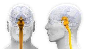 Moelle épinière masculine Brain Anatomy - d'isolement sur le blanc Photo stock