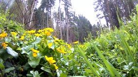 Moeras-goudsbloem, close-up van de bloem stock footage