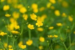 Moeras-goudsbloem de eerste gele bloemenlente Stock Foto