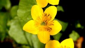 Moeras-goudsbloem met bloem stock footage