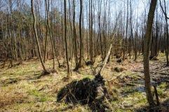Moeras in het bos in Darsser Ort Stock Foto