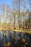 Moeras in het bos in Darsser Ort Stock Afbeelding