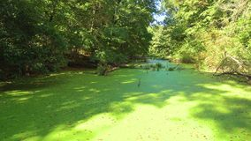 Moeras in het bos met oude groenachtig stock footage